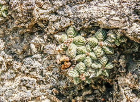 March Speaker: The New, Rare & Seldom Seen Cacti & Succulents of Mexico
