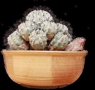 Open Best Cactus - Reiser-Copiapoa ciner