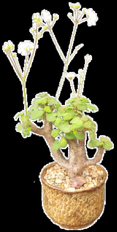 Pelargonium cotyledonis- Tina Zucker.png