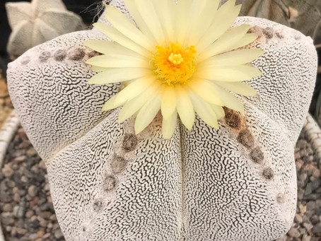 September Plant of the Month: Astrophytums - Stars among the cacti