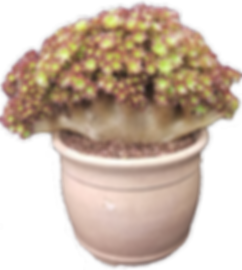 Crested Aeonium- Sandy Wetzel-Smith.png
