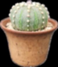 Astrophytum asterias-Brian Shepherd.png