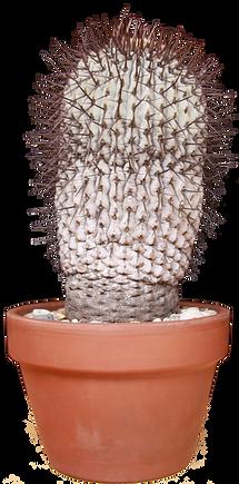 Advanced Best Cactus - John Williams-Cop
