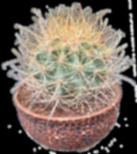 Ferocactus acanthodes- Christine Vargas.