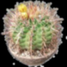 Ferocactus viridescens-Sherman Blanch.pn