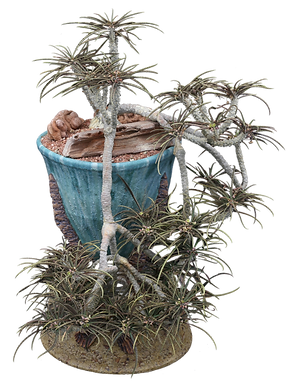 Euphorbia waringiae.png