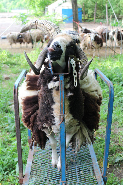 Bear pre shearing