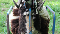 Shearing on the stand