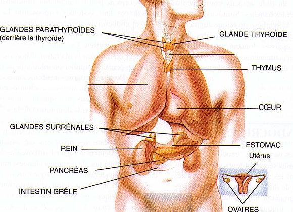 Module 13 : systeme endocrinien