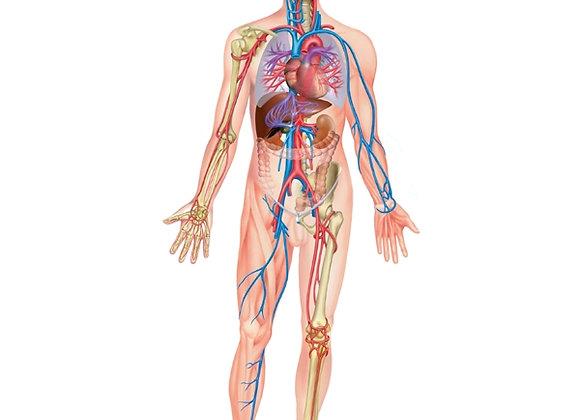 Module 17 : Système circulatoire et lymphatique