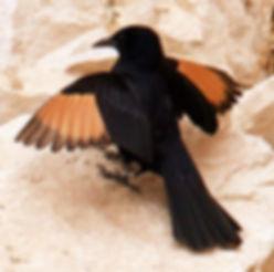 ציפור שחורה עם כנפיים כתומות