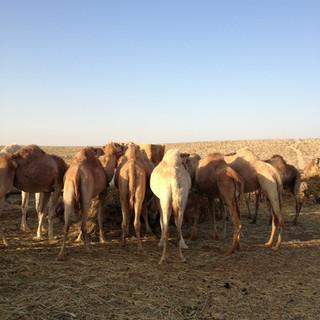 חוות הגמלים ממשית