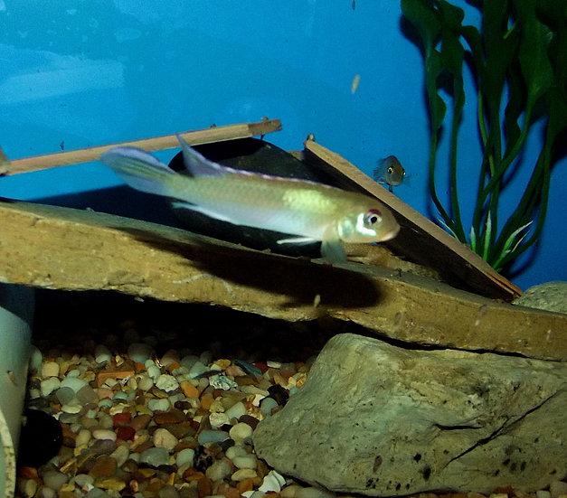 "Nannochromis nudiceps 1.75-2"""