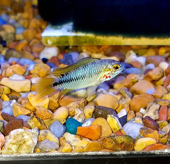 "Apisto. borellii ''Red Mask"" 1"" pr"