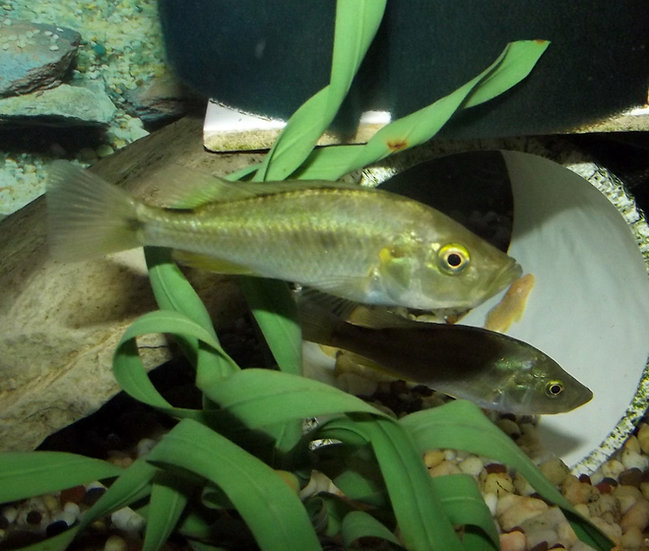 Pyxichromis orthostoma largemouth