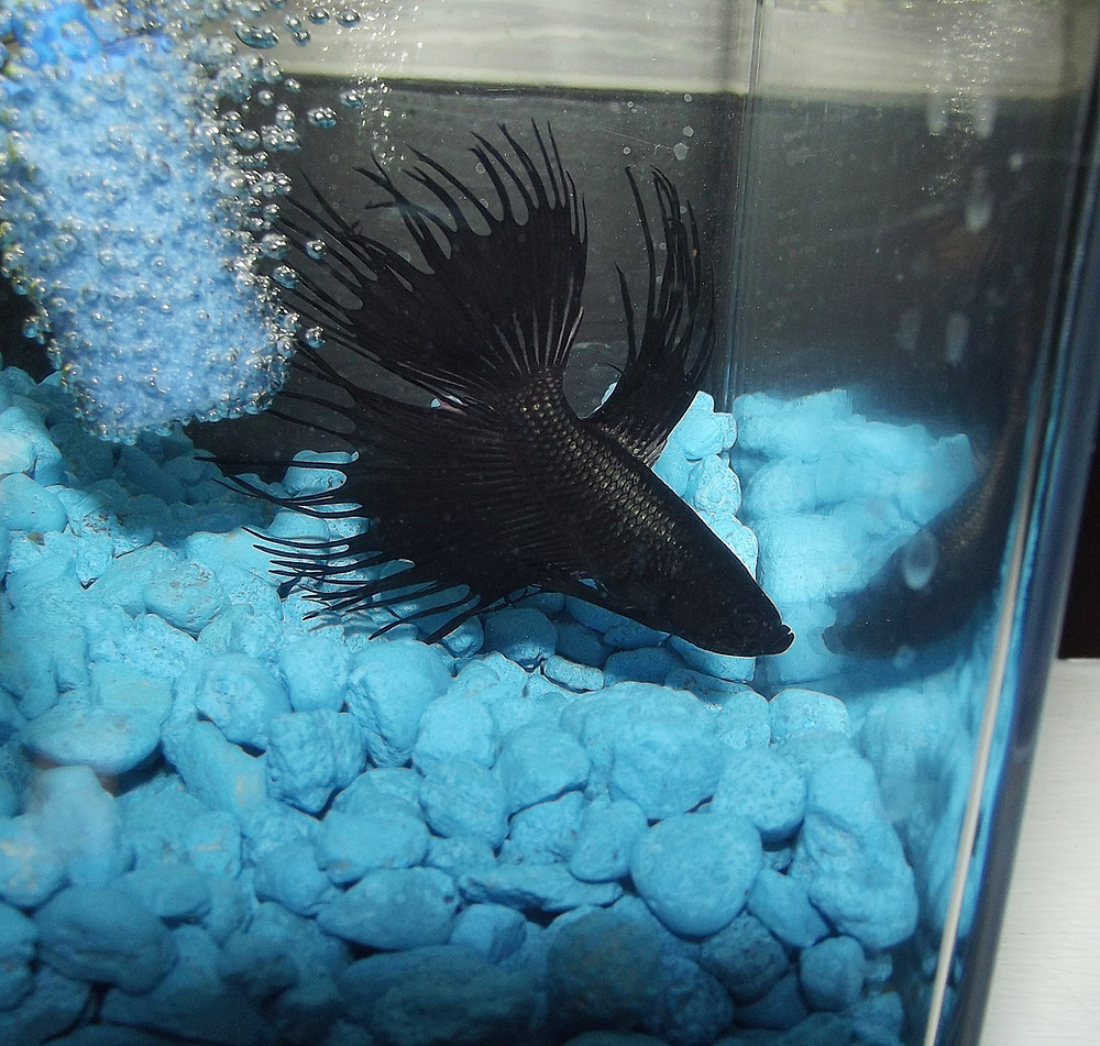 Black Orchid crown tail betta