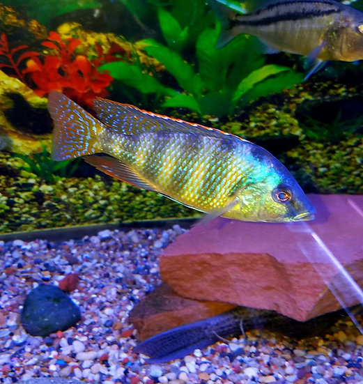 Placidochromis johnstoni solo