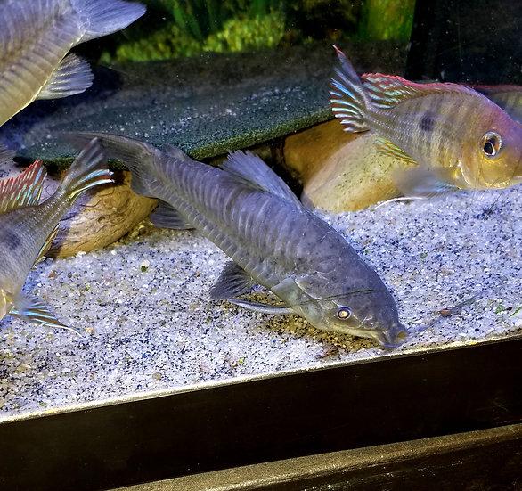 "Hoplo Catfish 4""+"