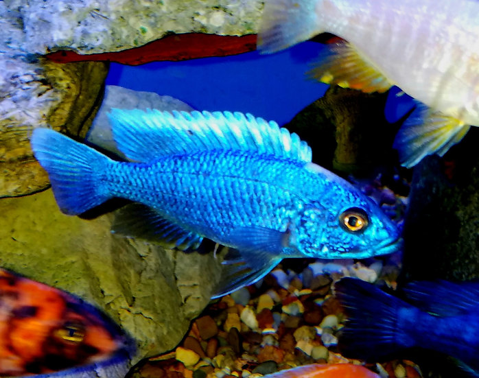 "Scieanochromis fryeri ""Electric Blue"""