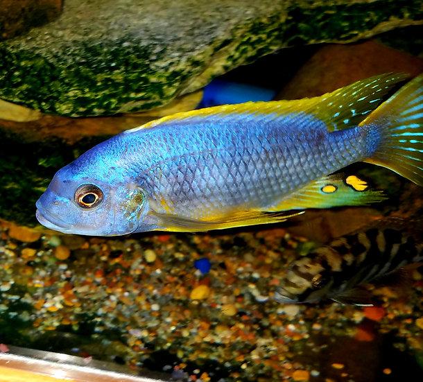 Petrotilapia thick bar Chitimba