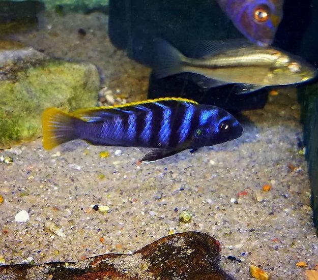 Labidochromis mbamba yellow top