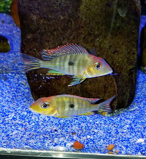 "Geophagus Red Head Tapajos 2""+"