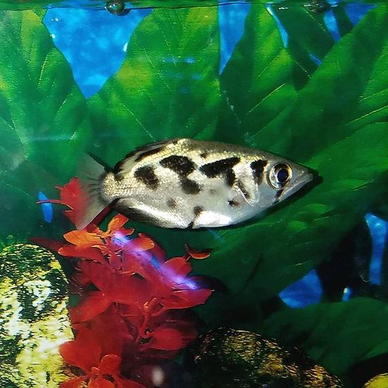 """Burmese Archer Fish 3.5-3.75"""""""