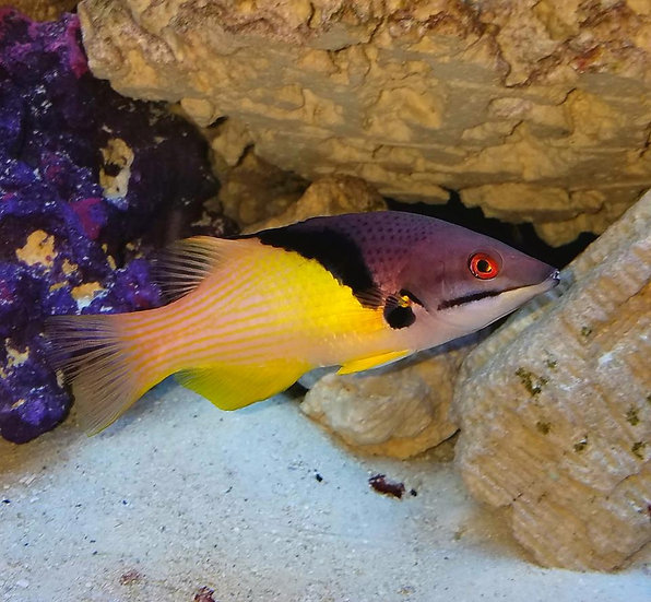 "Coral Hogfish 3.25""+"