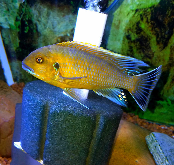 Psuedotropheus williamsi blue lips
