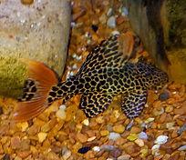 Red tail cactus pleco.jpg