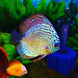 REd turqouise discus.jpg