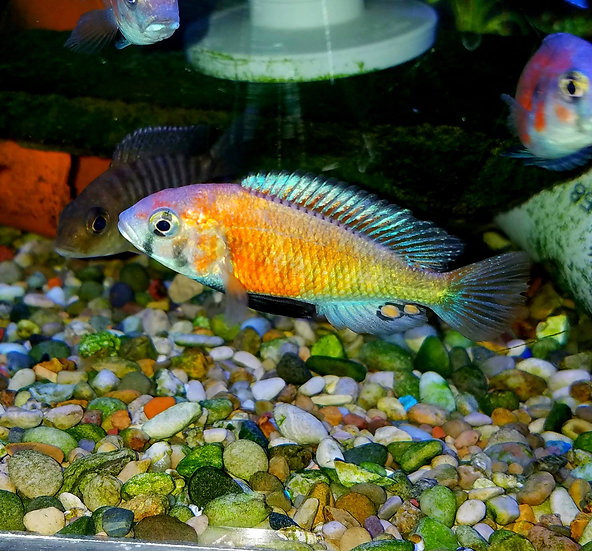 Ptyochromis salmon Hippo Point