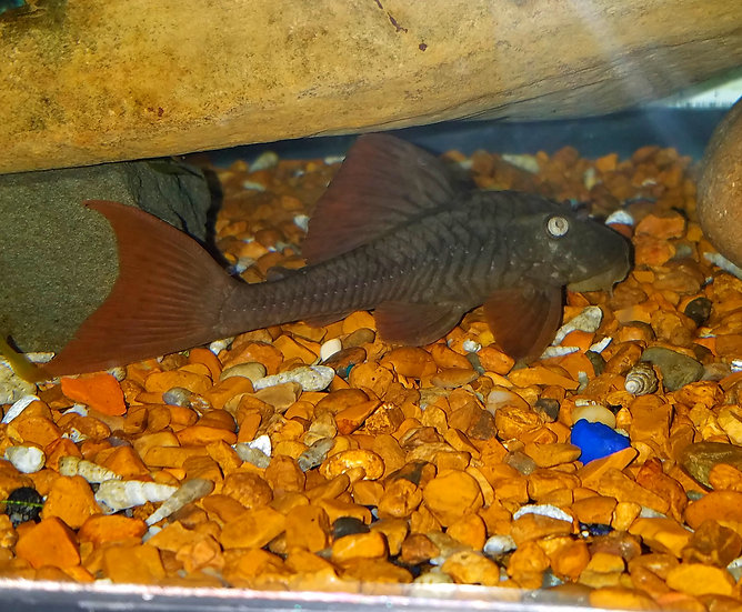 Blue Eye Red Fin Pleco L137 - 5.5-6""