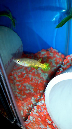 "Golden Wonder Killifish 2-2.5"" pair"