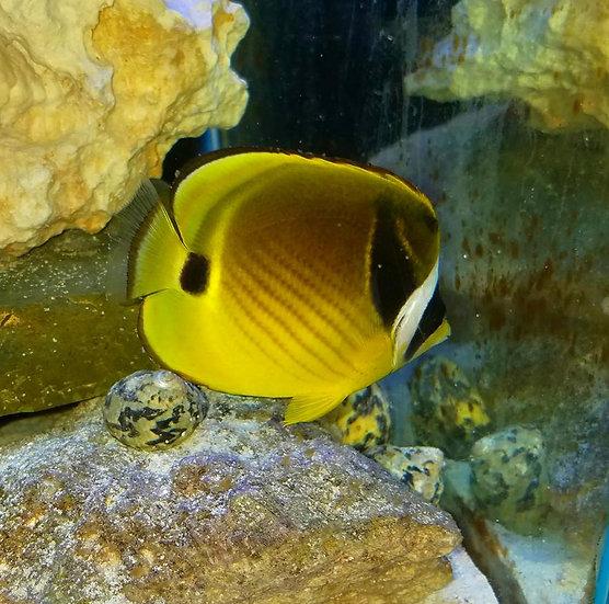 "Raccoon Butterfly fish 3.5"""