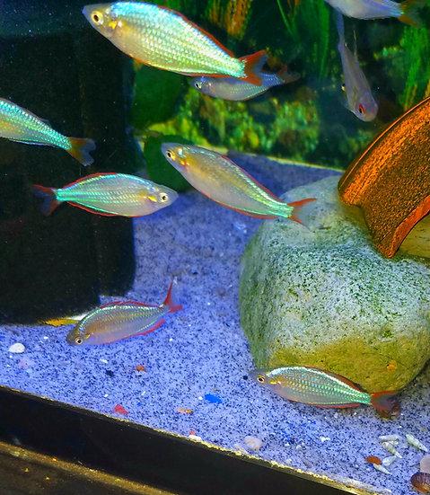 "Dwarf Neon Rainbowfish 2.25-2.5"""