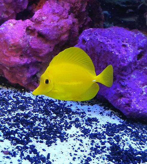 "Yellow Tang 4-4.5"""