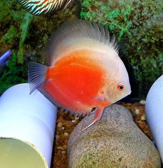 Red-White Leopard Discus 4""
