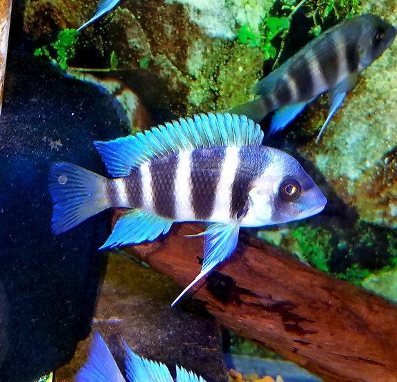 Frontosa Mpimbwe blue