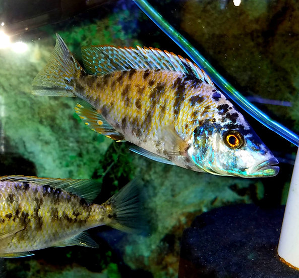 OB Dimidiochromis Compressiceps