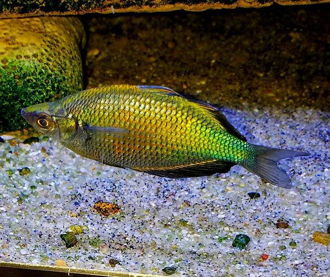 """Emerald Rainbowfish 2.75"""" Pairs"""
