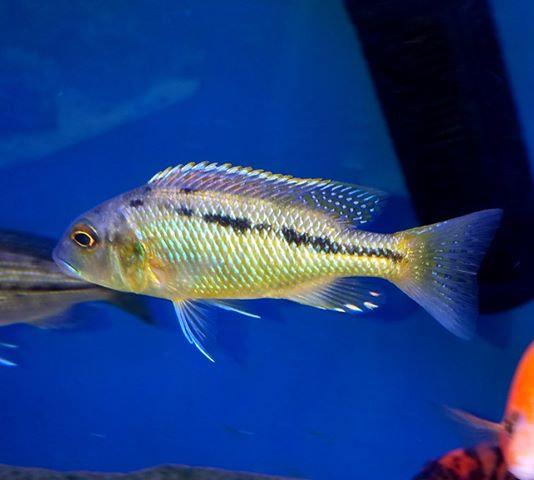 Buccochromis heterotaenia