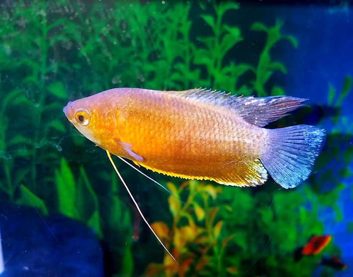 Sunset Gourami 1""