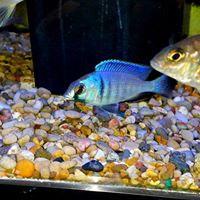Placidochromis electra Deep Water