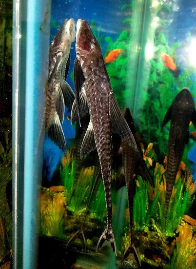 """Black Long finned whiptail 6-7"""" NICE!!"""