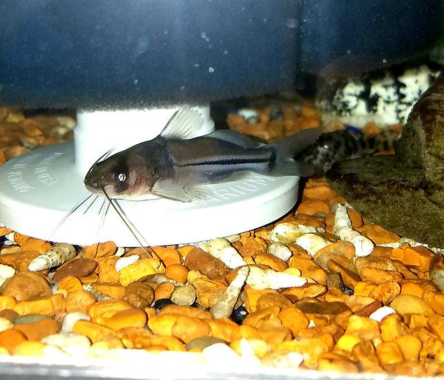 "Mees Catfish 3.25-3.5"""