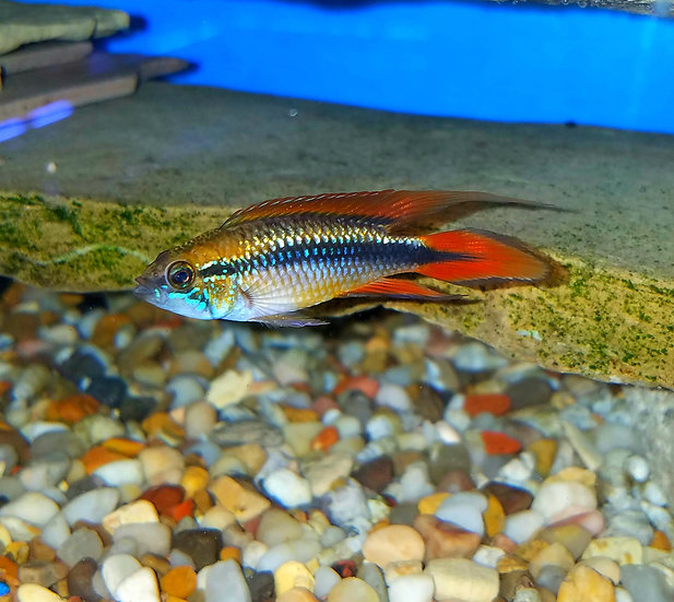 Apisto. agassizi Dbl red pair 1.25-2""
