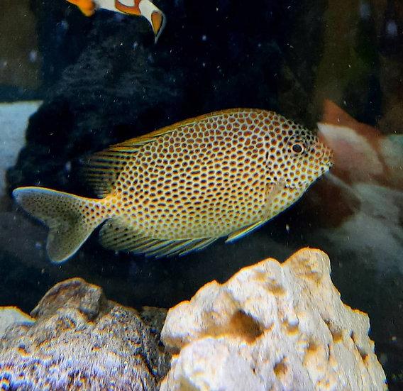 "Honeycomb Rabbitfish 4-4.5""+"