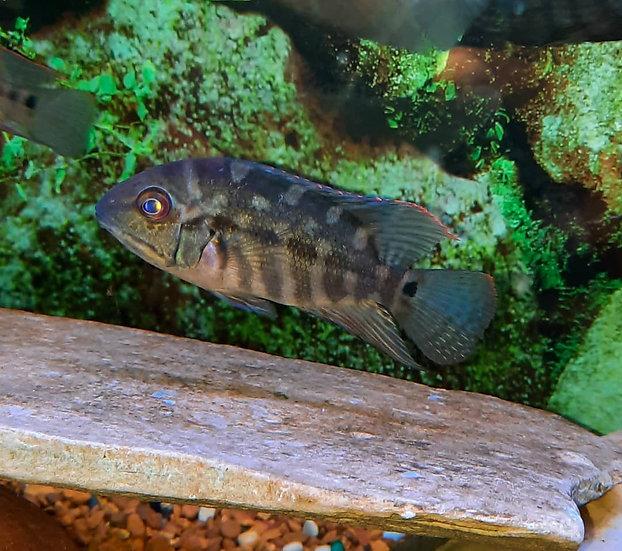 """Hoplarchus psittacus 3.5-4""""+"""
