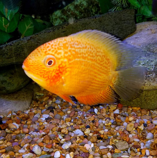 """Gold Red Spotted severum ~4"""""""